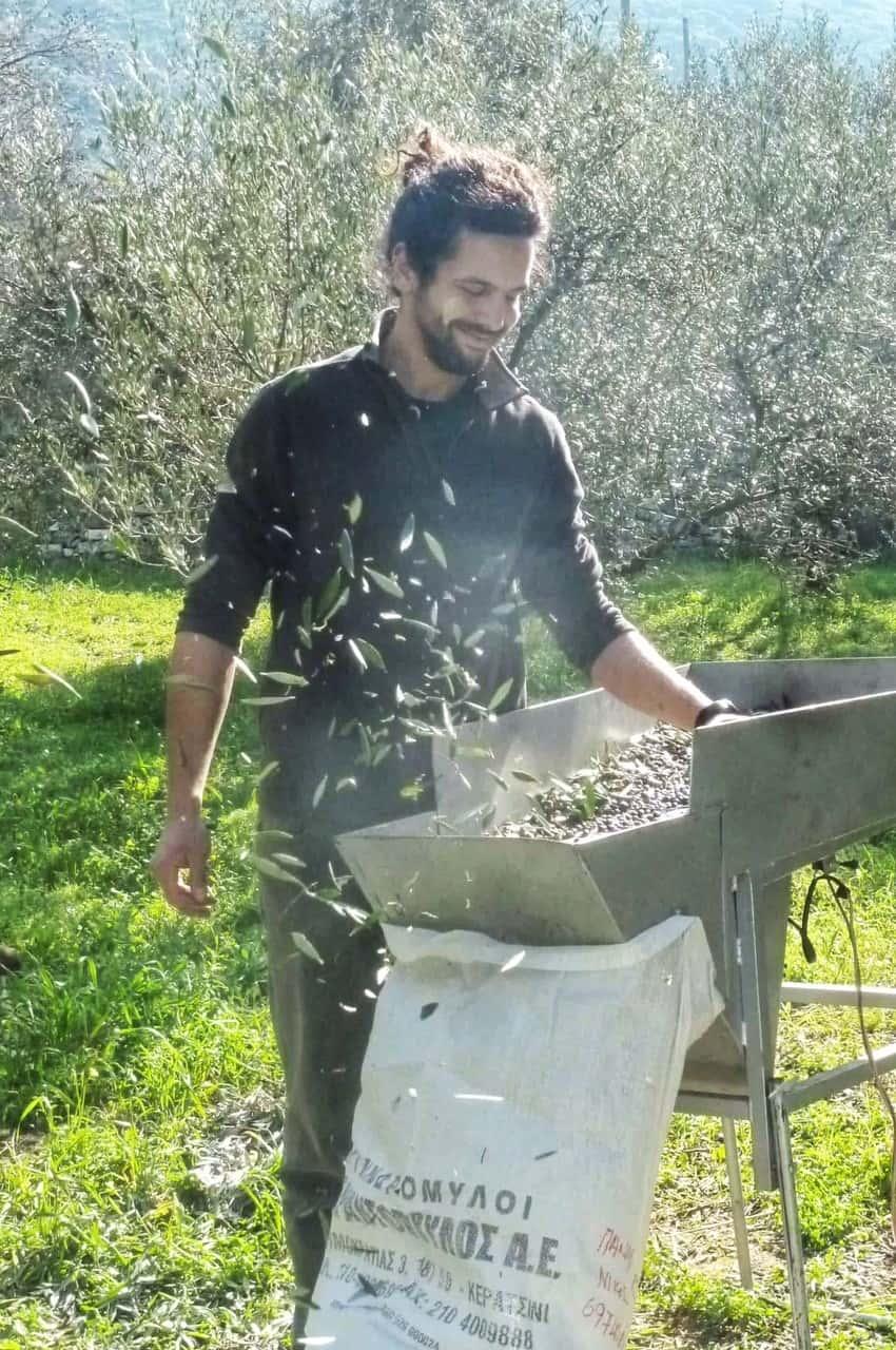 recolte d'olives à Naxos